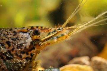 Crayfish head close-up detail