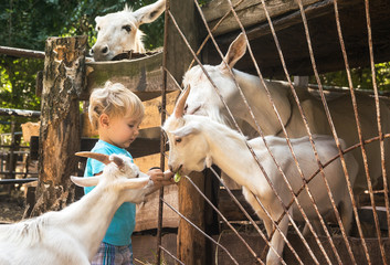 boy in environment of white goats on farm