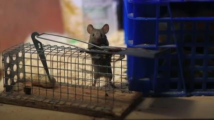 Hausmaus auf Mausefalle