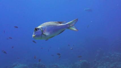 Bigeye emperor fish in the red sea