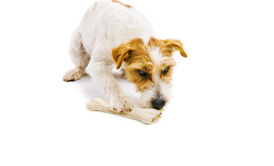 Young dog chowing bone isolated