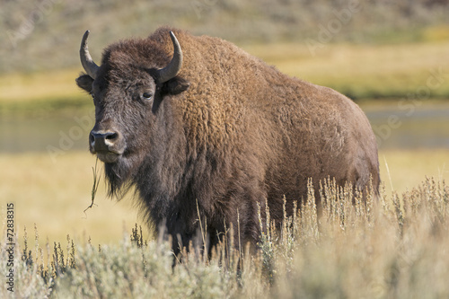 Deurstickers Bison American Bison on the Plains