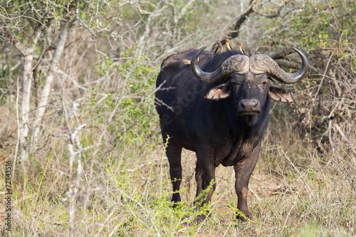 Plexiglas Buffel african buffalo in the bush