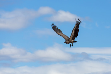 african vulture in flight