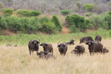 buffalo herd in african bush