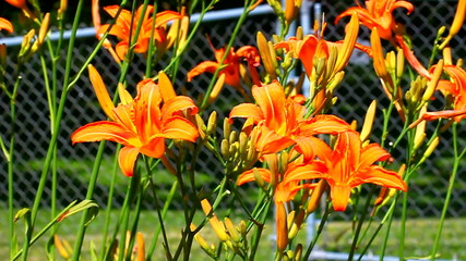 Orange Daylily (Hemerocallis fulva)