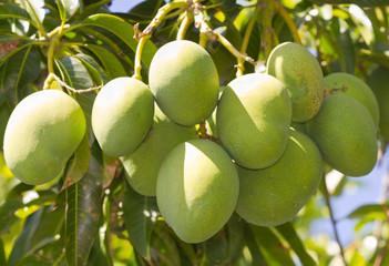 grappe de mangues vertes
