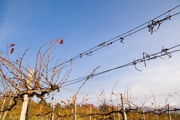 Barbed wire on a vineyard