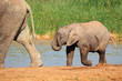 Baby elephant at waterhole, Addo Elephant National Park