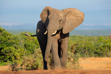 "Постер, картина, фотообои ""African elephant, Addo Elephant National Park"""