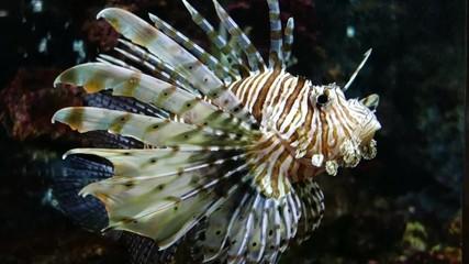 lionfish (Scorpaenidae) in aquarium
