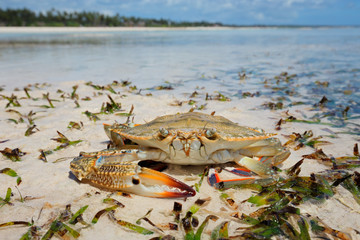 Large swimming crab on the beach, Zanzibar island