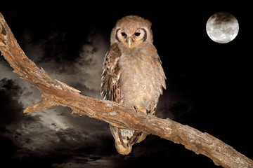 Giant eagle-owl and full moon