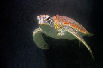 Hawksbill sea turtle, Zanzibar island