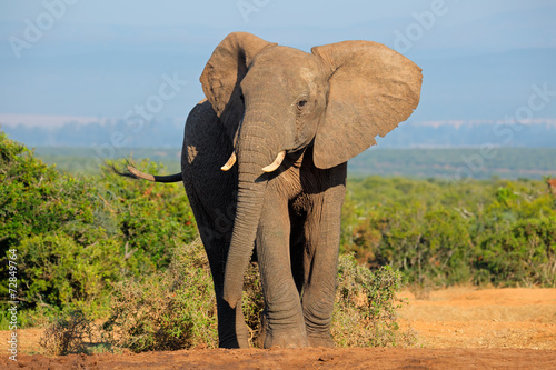 Staande foto Olifant African elephant, Addo Elephant National Park