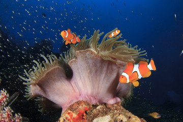 Clownfish (Nemo fish) and anemone