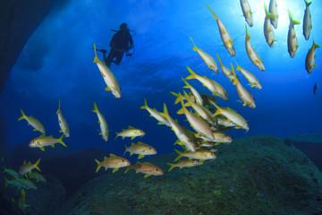School Fish and Scuba Diver
