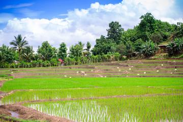 Natural Thai rice field in Chiangmai, Thailand