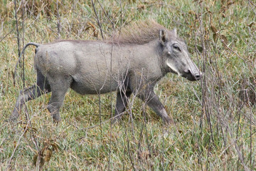Warthog Trotting in the Grass
