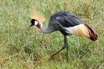 East African Crowned Crane in Ngorongoro