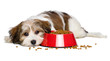 canvas print picture - Cute Havanese puppy dog is lying beside a red bowl of dog food