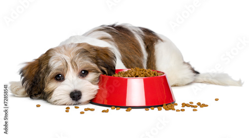 Cute Havanese puppy dog is lying beside a red bowl of dog food - 72858541
