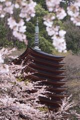 奈良県談山神社の桜