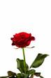 canvas print picture - Rote Rose. Zeichen der Liebe