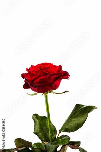 canvas print picture Rote Rose. Zeichen der Liebe