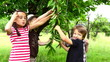 Children eating cherries from the tree