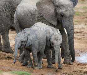 Young African Elephants at Waterhole