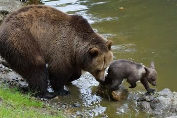 Braunbärweibchen ( ursus arctos) mit ihrem Jungen am Seeufer