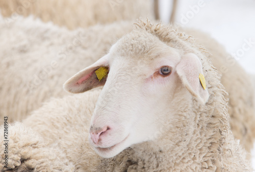 Fotobehang Schapen Sheep portrait