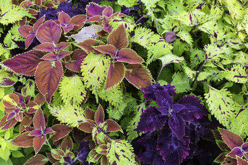 Multicolor plants