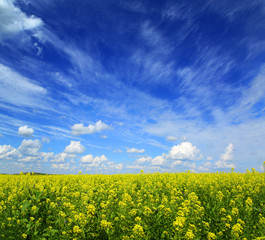 beautiful flowering rapeseed field under blue sky