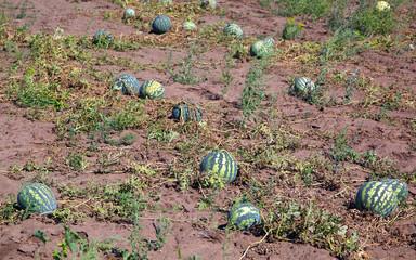 Watermelons in field