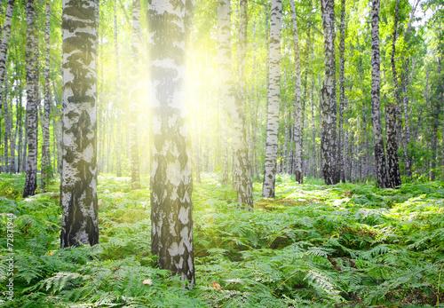 letnie-brzozowe-lasy-ze-sloncem