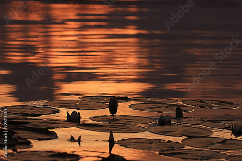 Staande foto Lotusbloem water lilies sunset