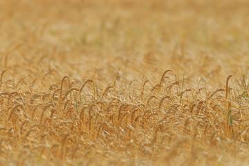 background wheat farming