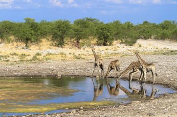 Giraffengruppe im Etosha Nationalpark