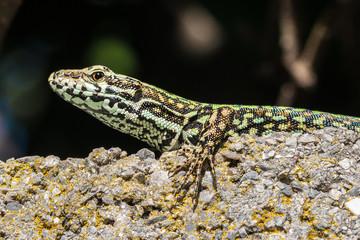 lucertola lizard