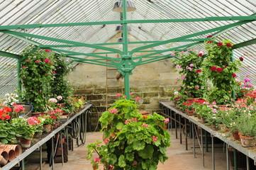 Gärtnerei mit Blumen im Gewächshaus