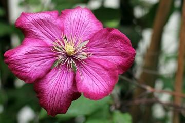 Deep pink clematis