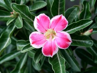 Pink Flower, Adenium obesum tree, Desert Rose, Impala Lily