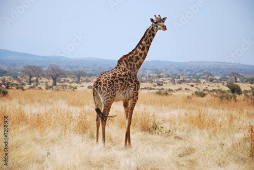 Foto op Aluminium Giraffe One day of safari in Tanzania - Africa - Giraffe