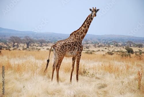 Staande foto Giraffe One day of safari in Tanzania - Africa - Giraffe