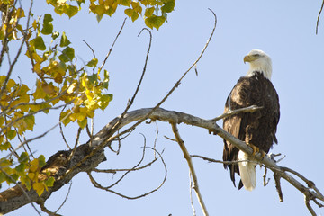 American Bald Eagle On The Perch