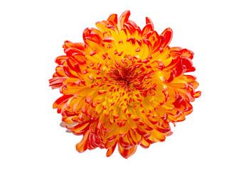 Red Yellow chrysanthemum