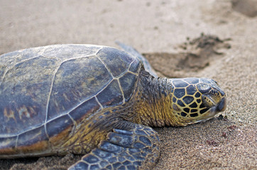 Sea Turtle sleeping on the beach