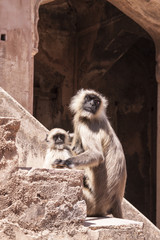 Mother and Baby Indian Gray langurs or Hanuman langurs Monkey (S